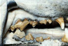 Bad Dog Teeth